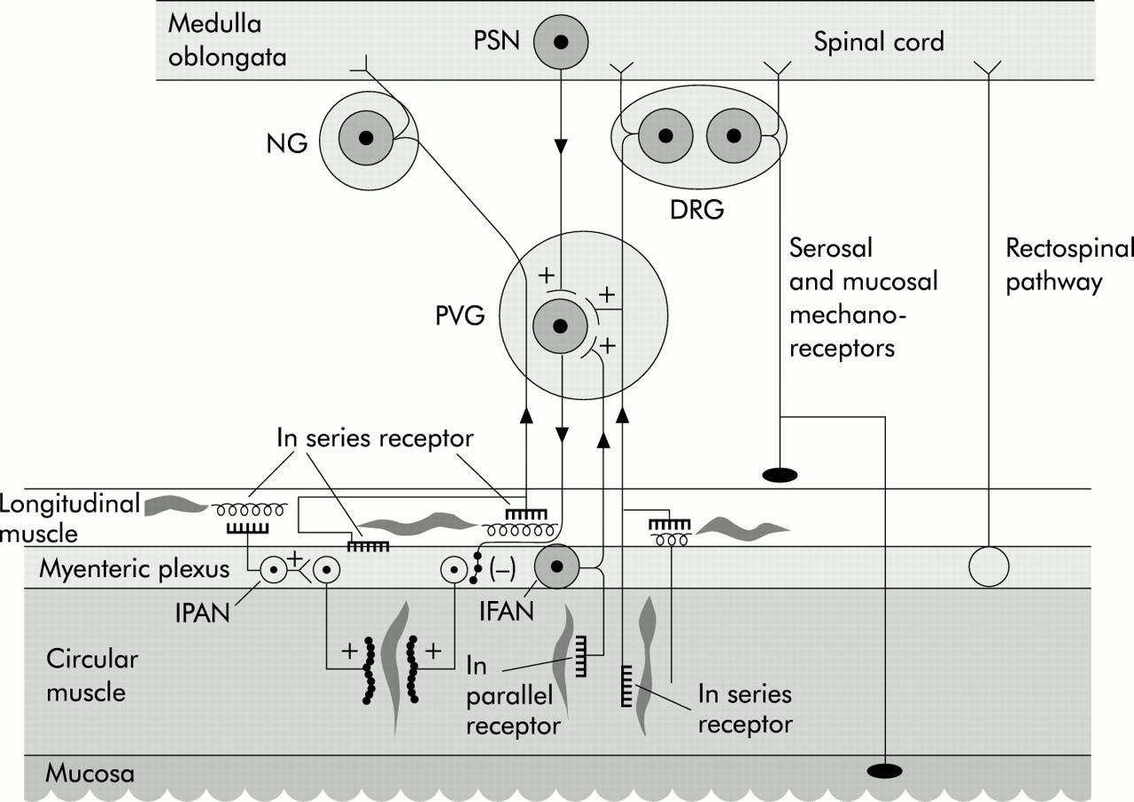 Prevertebral ganglia and intestinofugal afferent neurones gut download figure ccuart Images