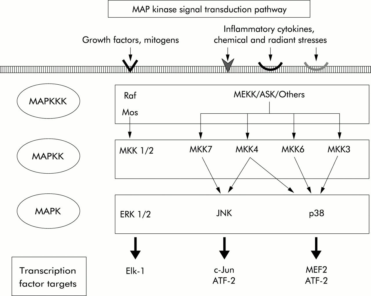 Min activated protein (MAP) kinase signal transduction ... on