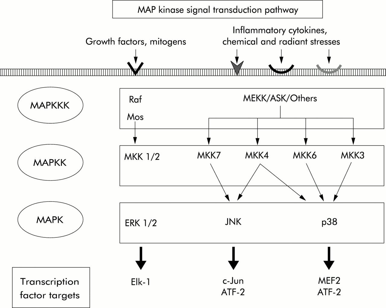 Min activated protein (MAP) kinase signal transduction ... on jak-stat signaling pathway, mapk/erk pathway, cyclic adenosine monophosphate, tgf beta signaling pathway, signal transduction, protein kinase, notch signaling pathway, receptor tyrosine kinase, wnt signaling pathway, cyclin-dependent kinase, pi3k/akt/mtor pathway, protein kinase c, adenylate cyclase, c-jun n-terminal kinases,