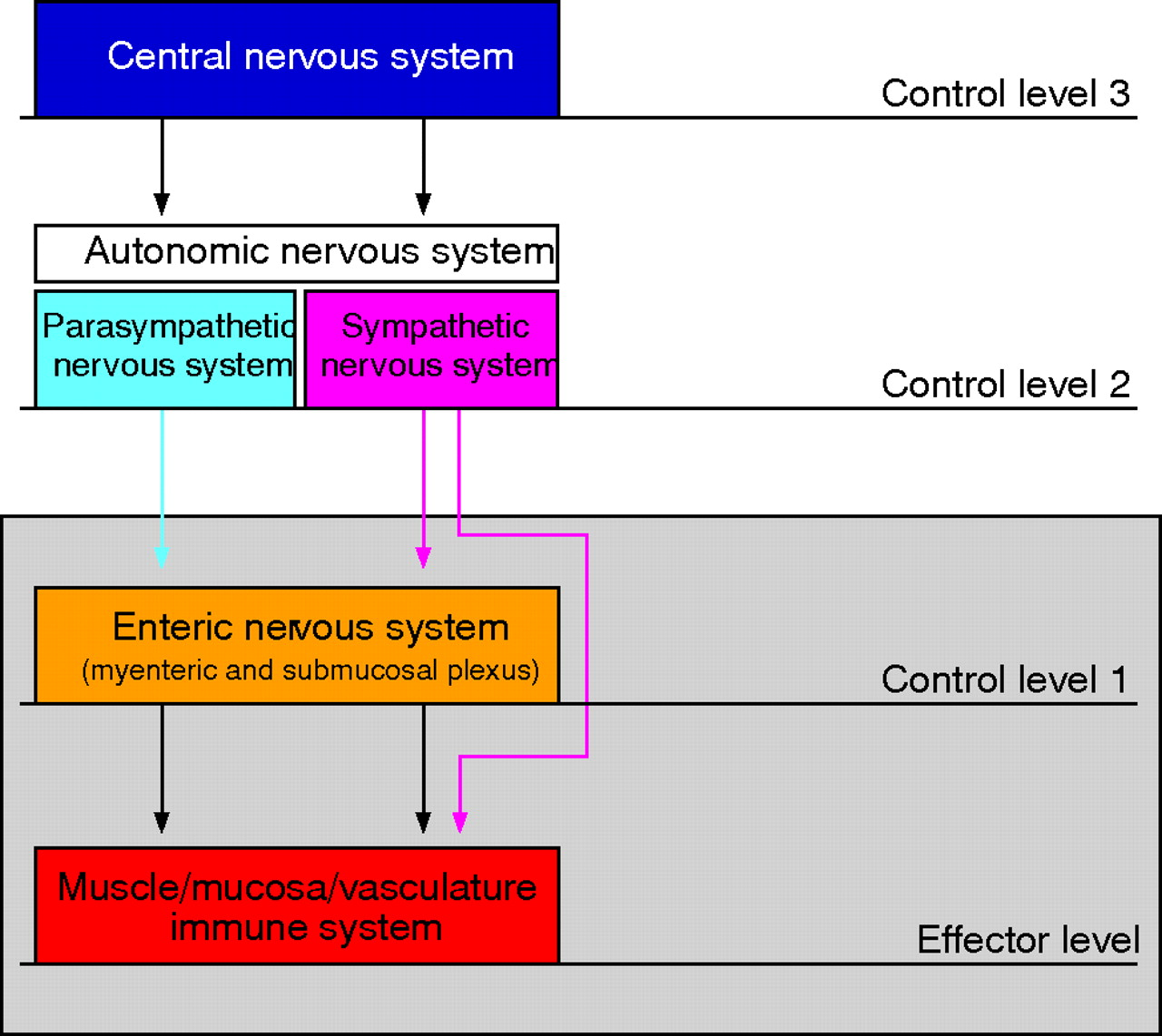 The role of the sympathetic nervous system in intestinal ...