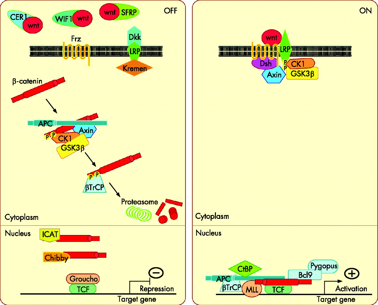 The Canonical Wnt Signalling Pathway And Its Apc Partner In Colon Cancer Development Gut
