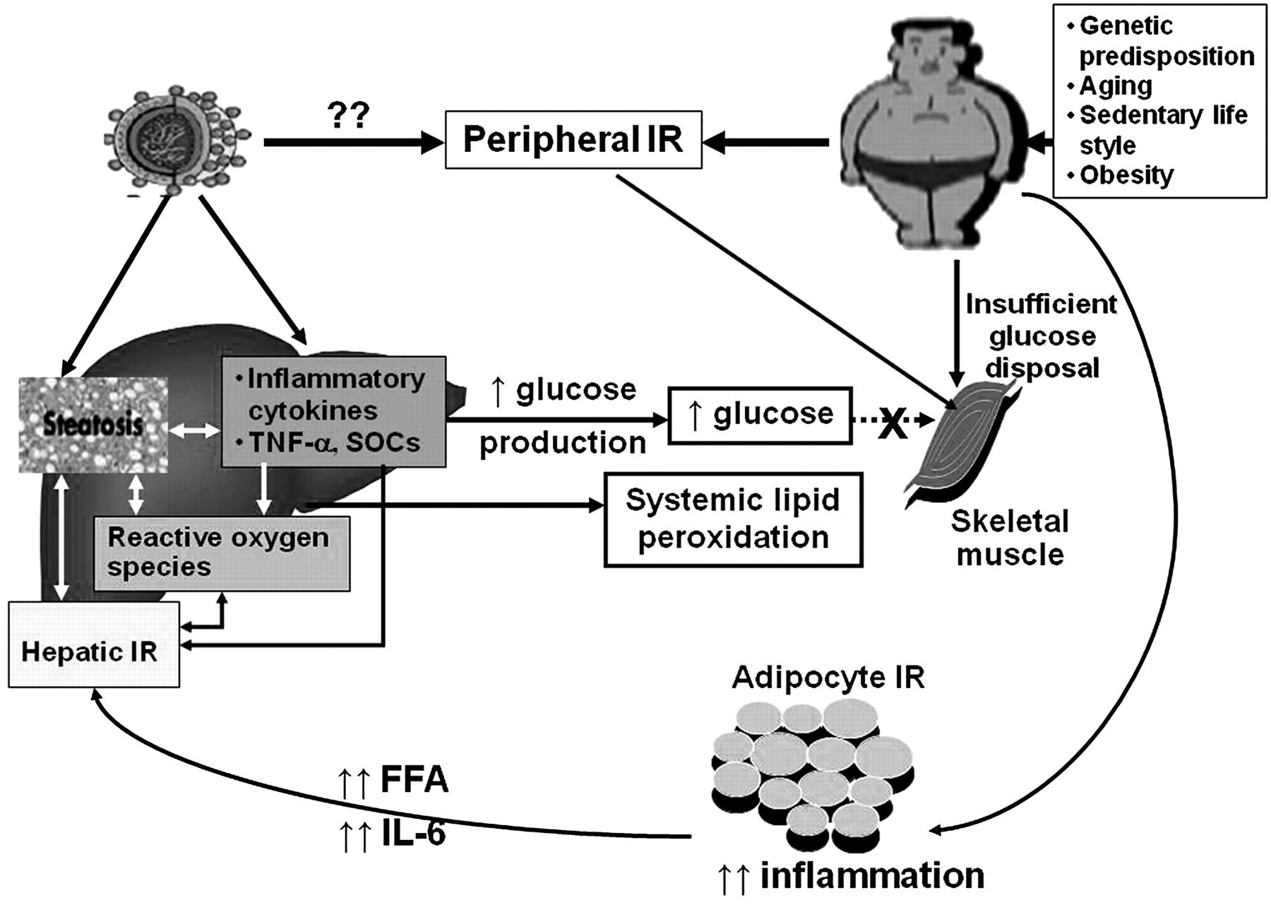 Insulin and Insulin Resistance foto