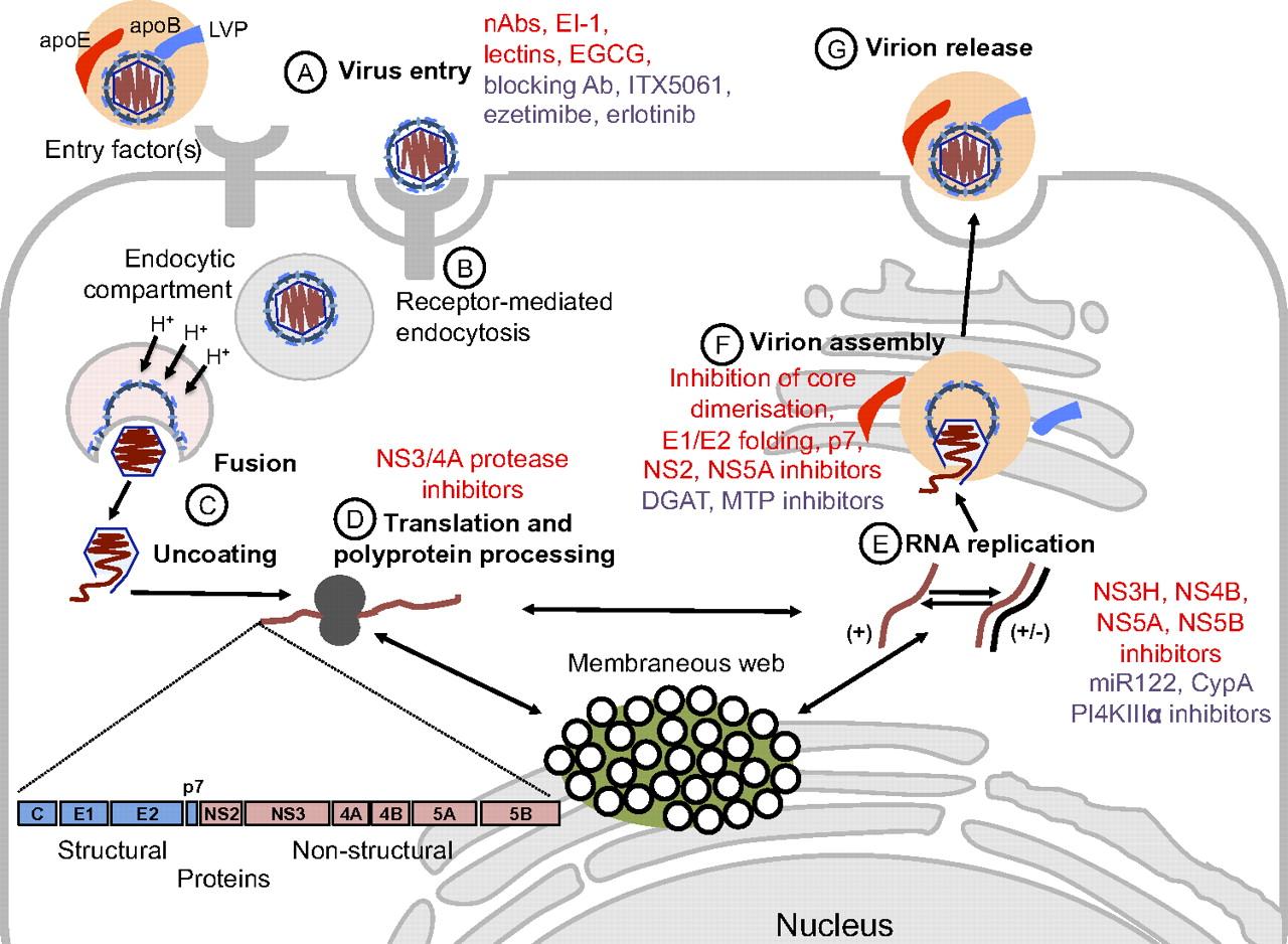 100 Effect Of Hepatitis G Virus Combination Therapies