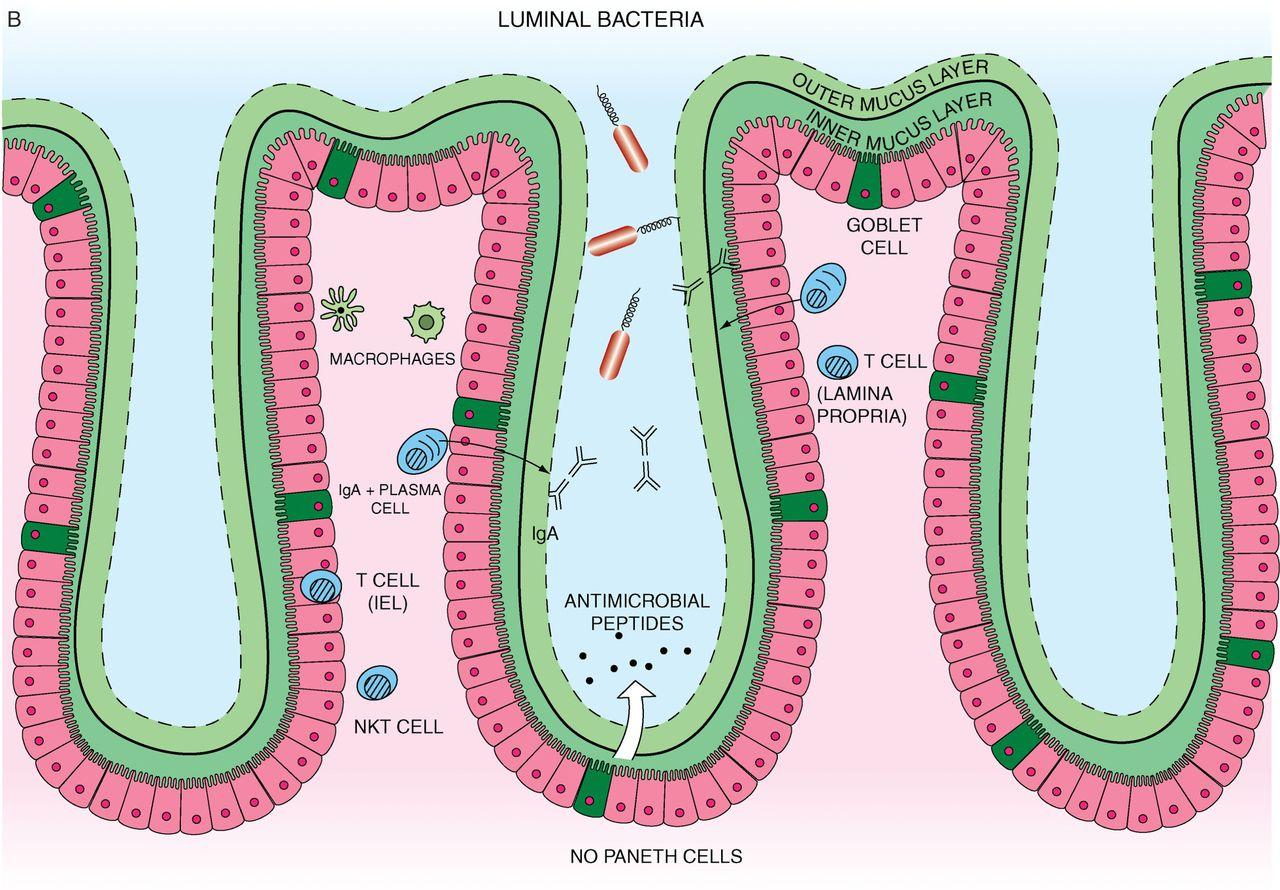 Recent Advances In Inflammatory Bowel Disease Mucosal Immune Cells