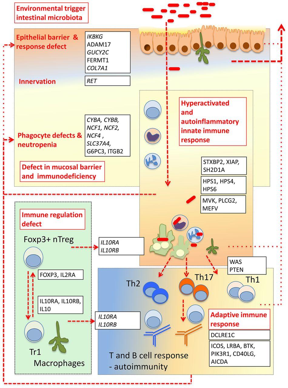 pathogenesis of inflammatory bowel disease poster Metastatic crohn's disease of the  microscopic pathology of the.