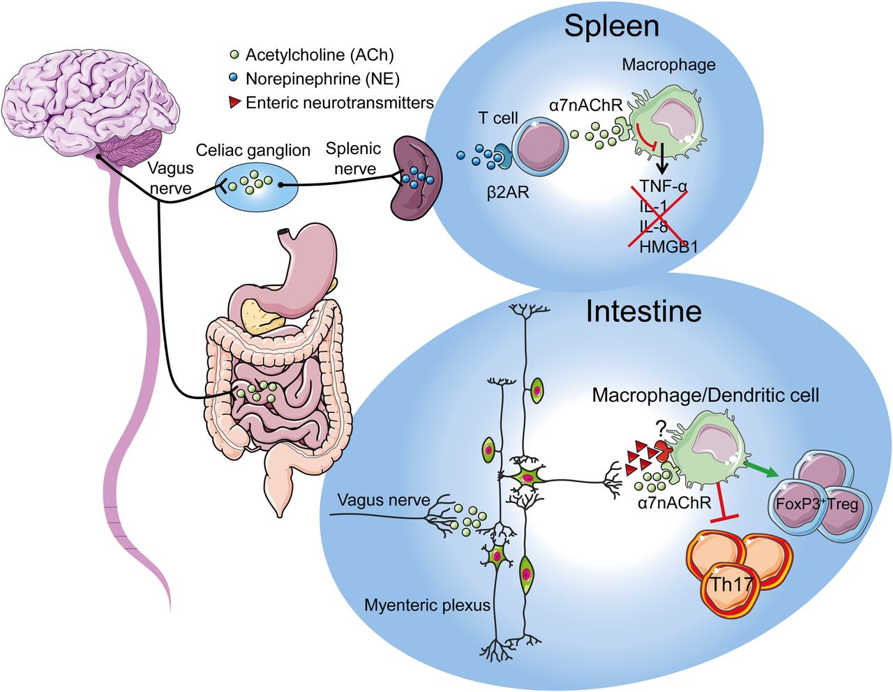 The vagal innervation of the gut and immune homeostasis | Gut