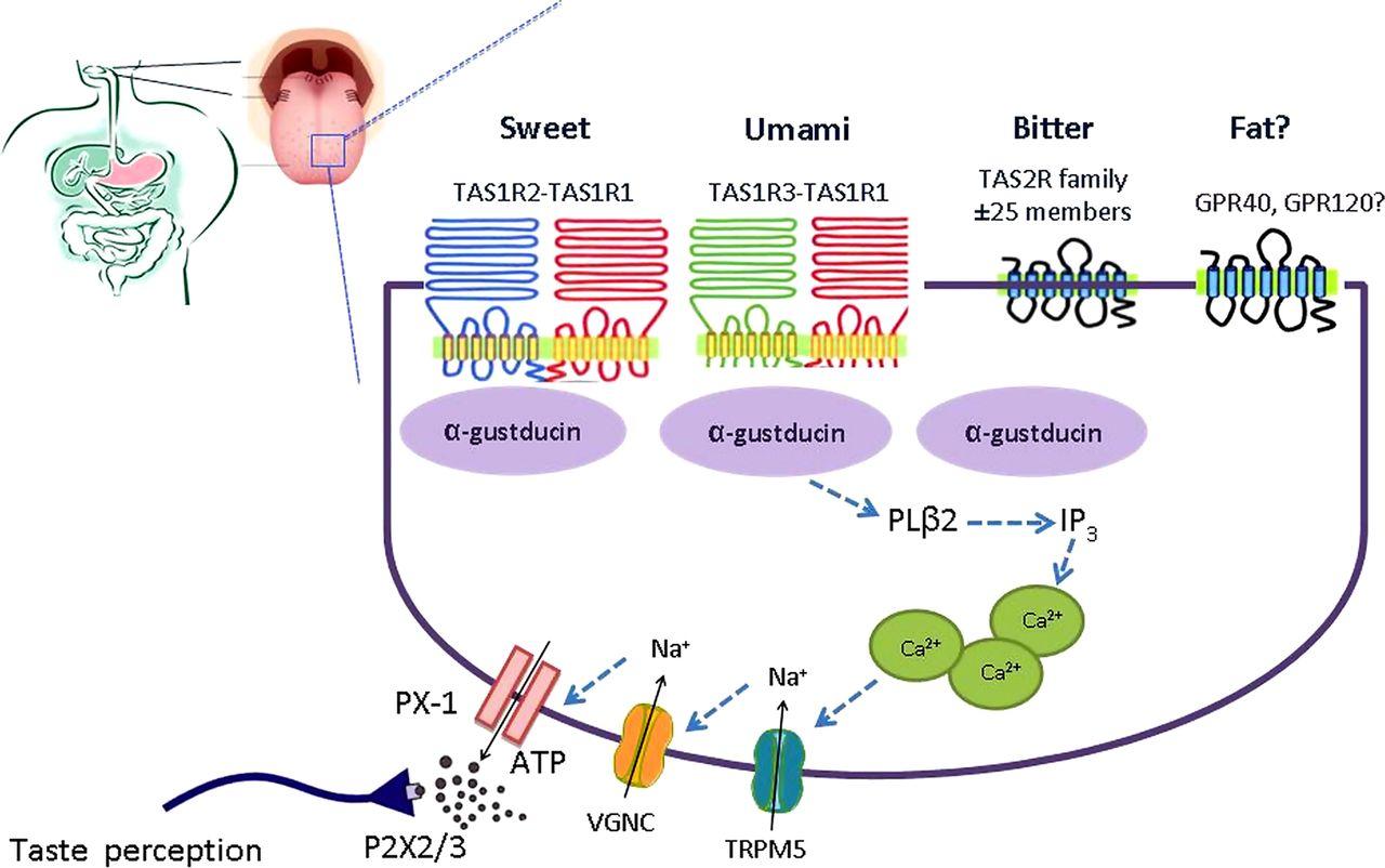 Taste receptors of the gut: emerging roles in health and disease | Gut