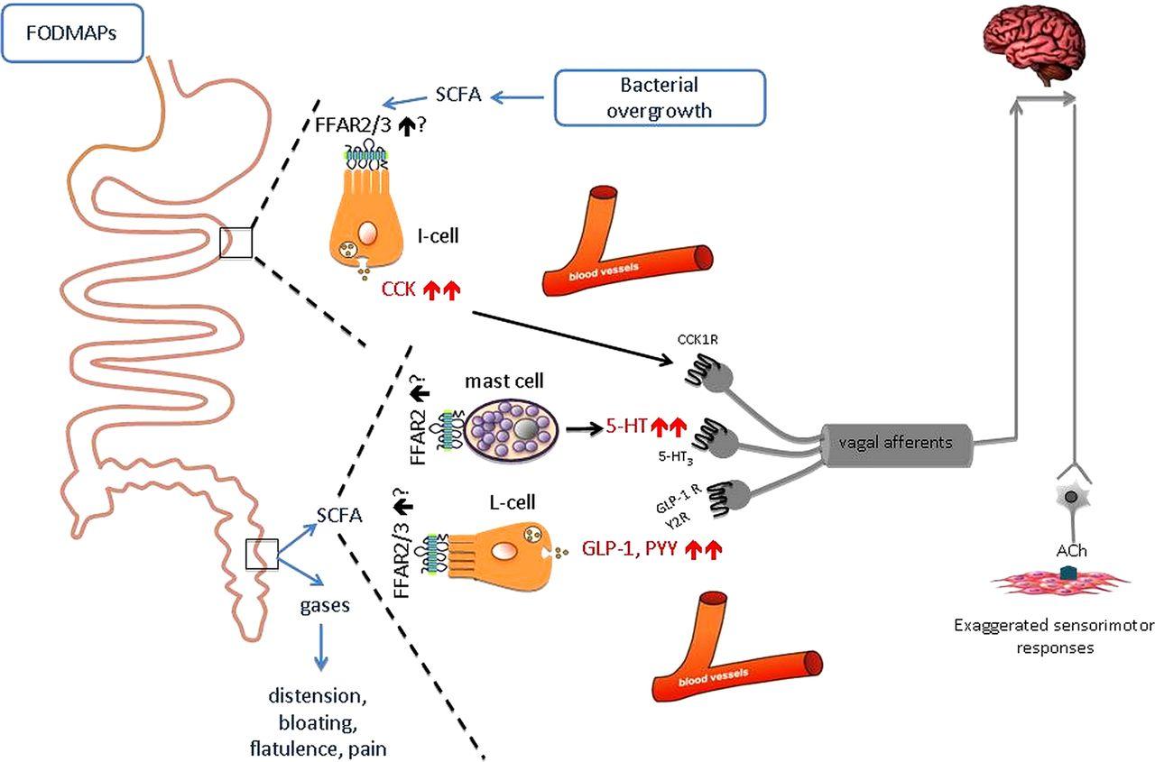 Taste Receptors Of The Gut Emerging Roles In Health And Disease Gut