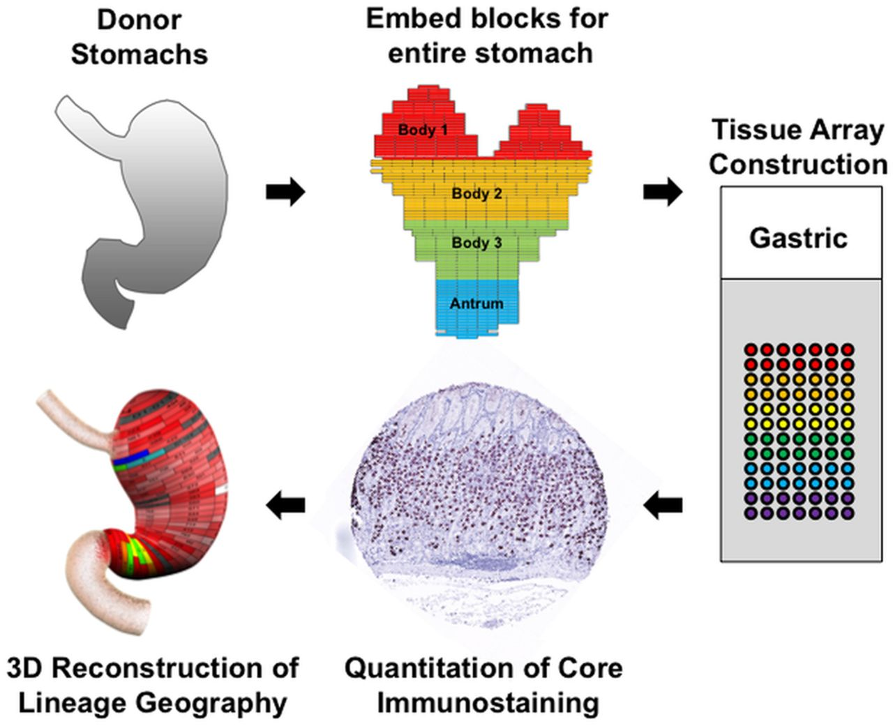 Cell lineage distribution atlas of the human stomach reveals download figure ccuart Choice Image