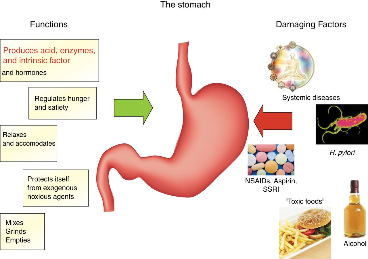 Functions of the stomach and structure