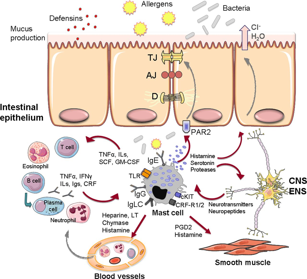 the role of mast cells in functional gi disorders