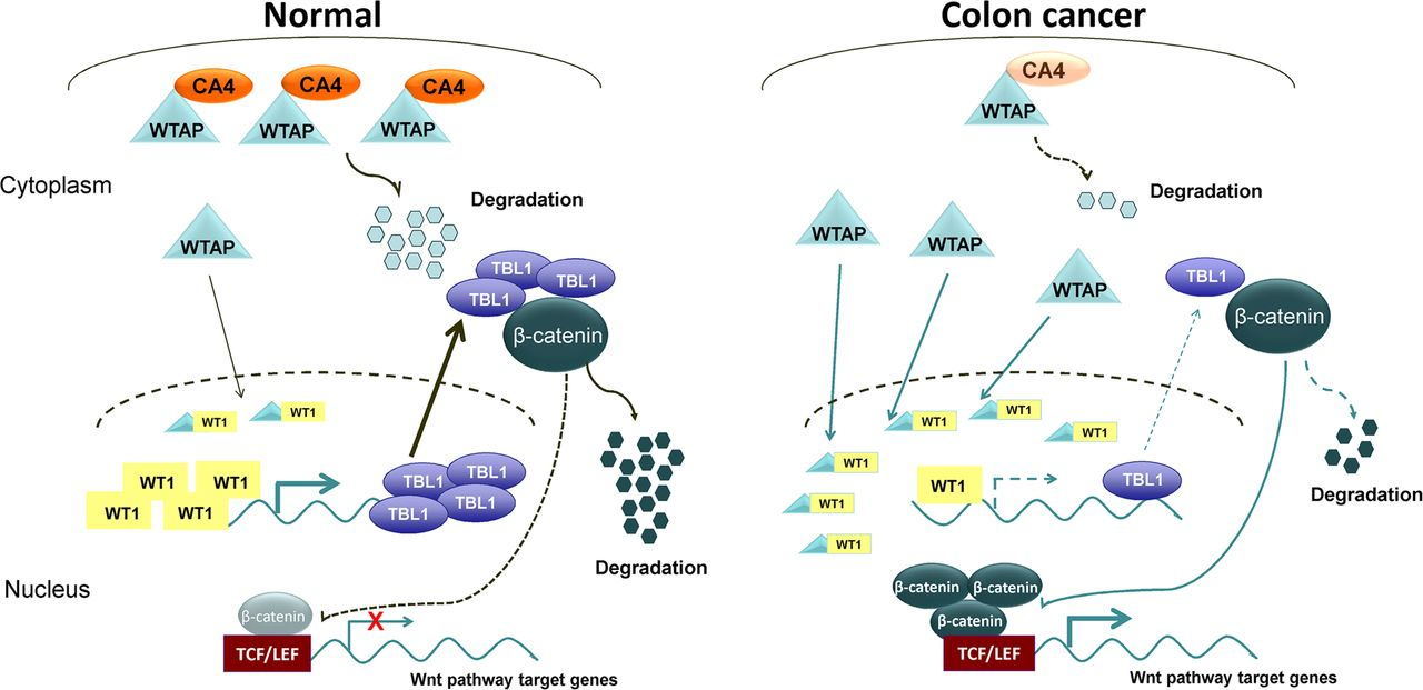 Carbonic Anhydrase Iv Inhibits Colon Cancer Development By Inhibiting The Wnt Signalling Pathway Through Targeting The Wtap Wt1 Tbl1 Axis Gut