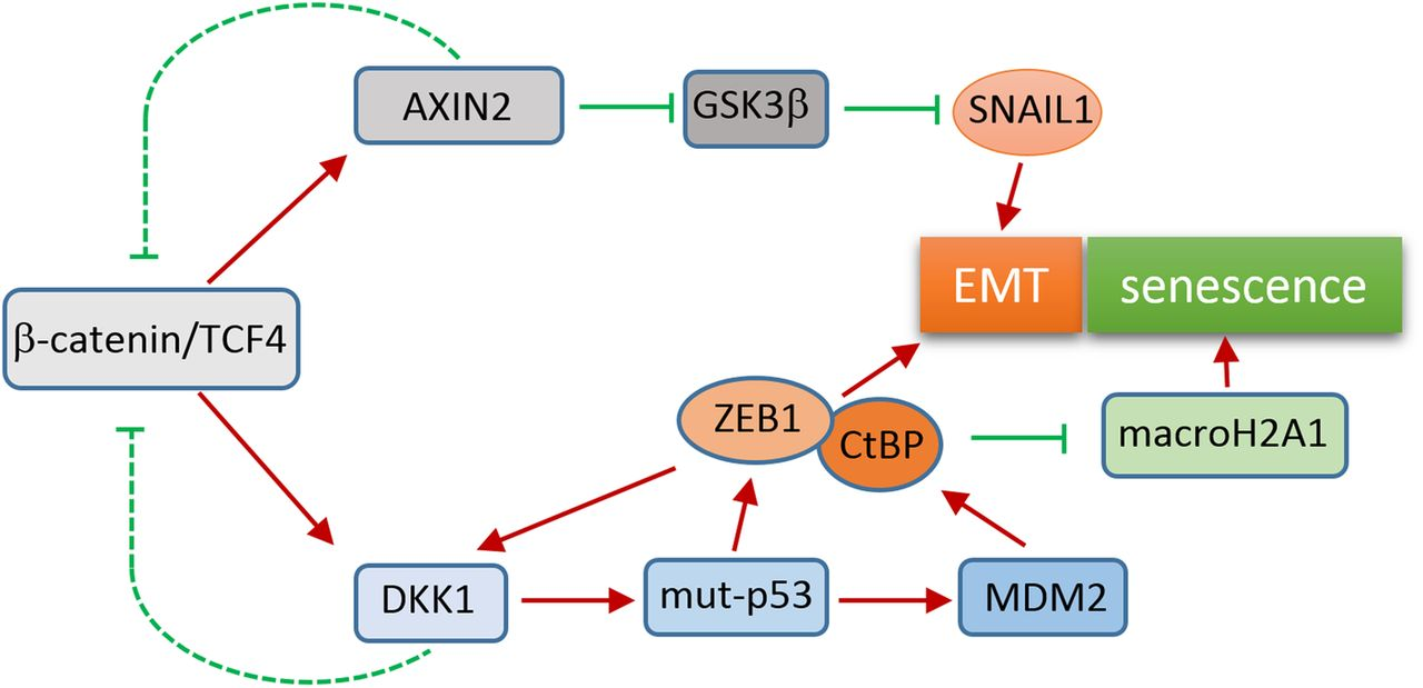 Colorectal Cancer Cells Use The Negative Feedback Regulators Of Wnt Signalling To Activate Epithelial Mesenchymal Transition Pathways Gut