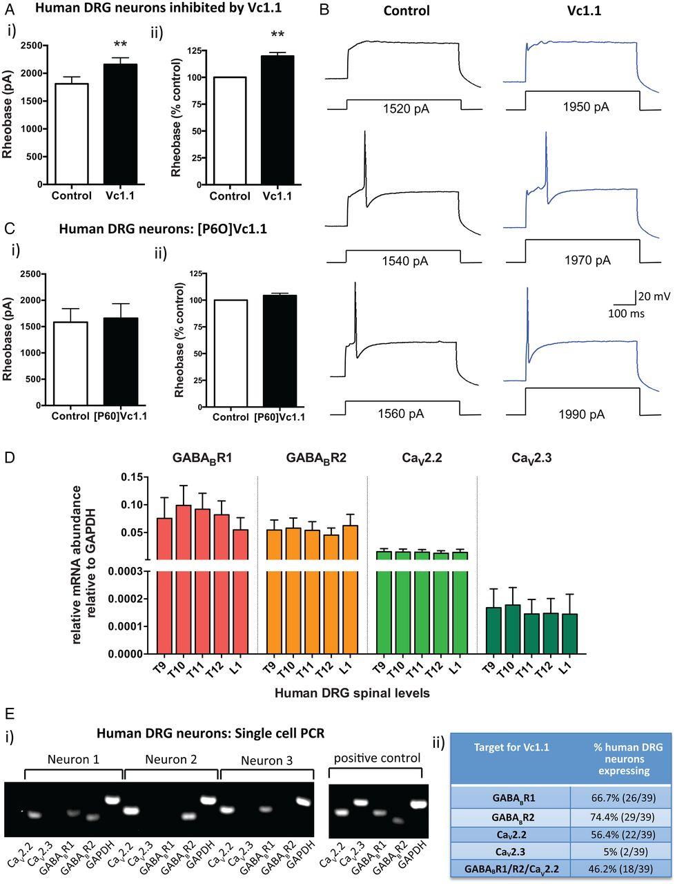 Conotoxin Vc11 Inhibits Human Dorsal Root Ganglion
