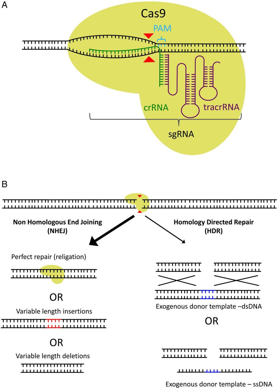 Crispr  Cas9  At The Cutting Edge Of Hepatology