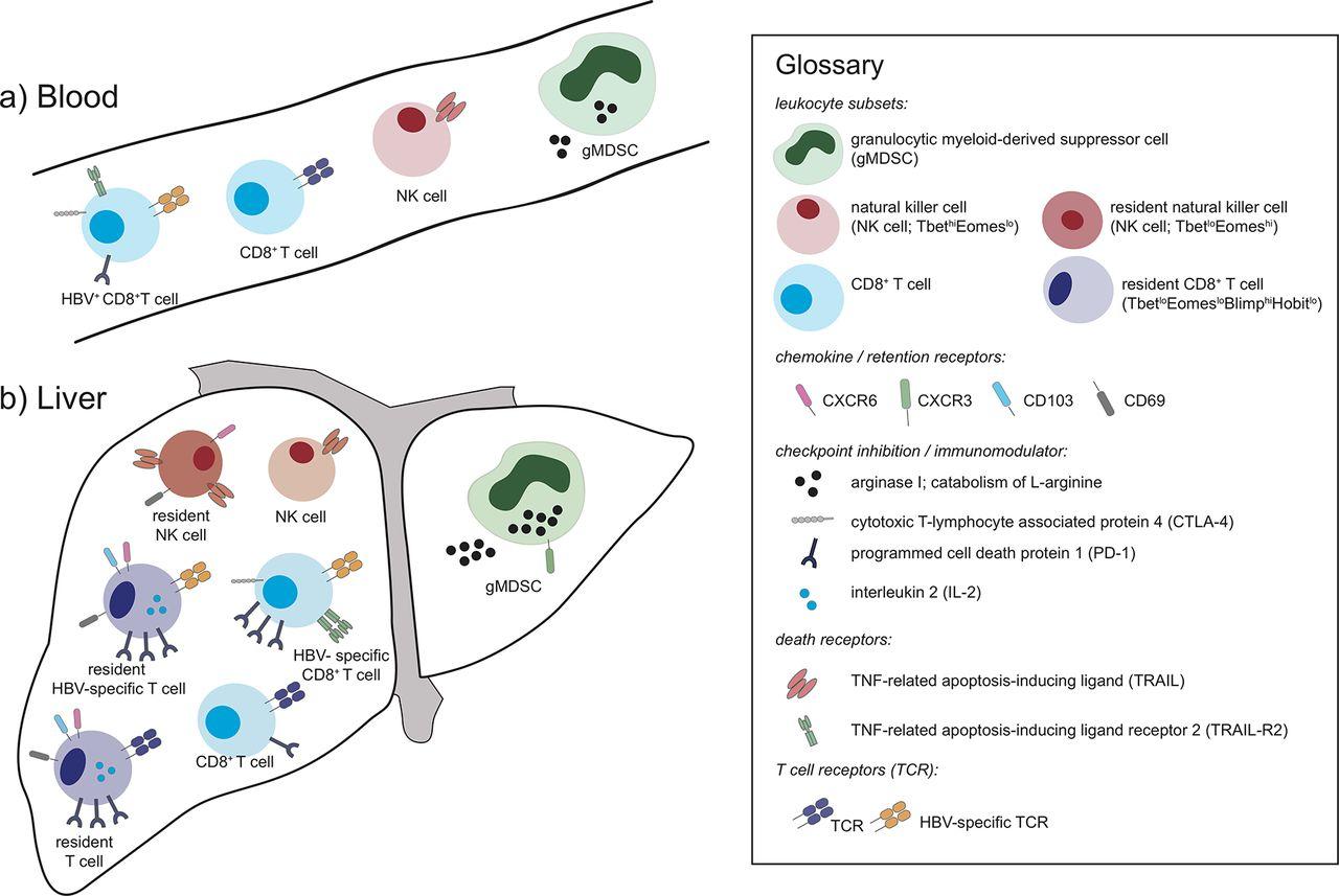 Liver sampling: a vital window into HBV pathogenesis on the