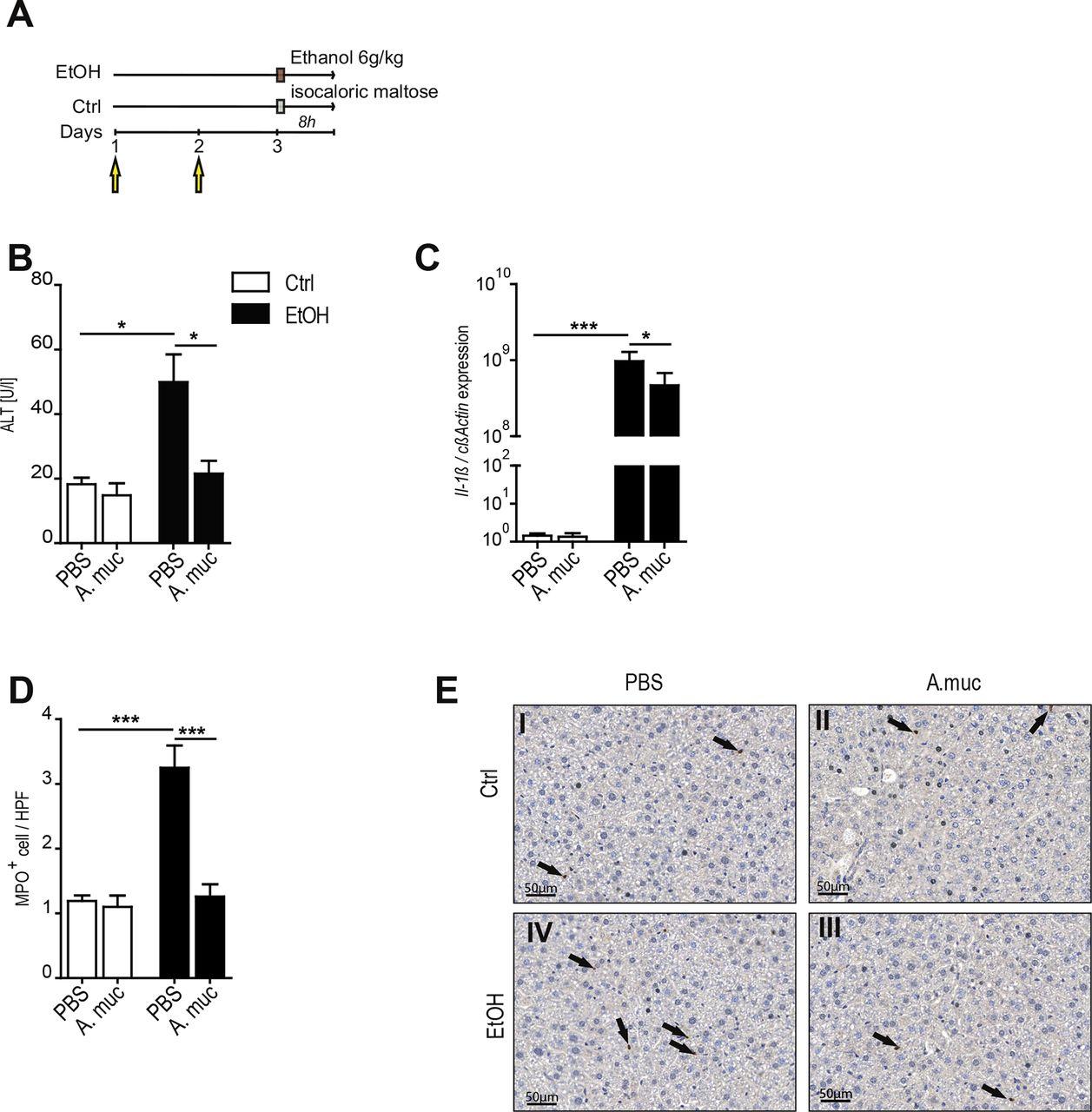 Recovery of ethanol-induced Akkermansia muciniphila