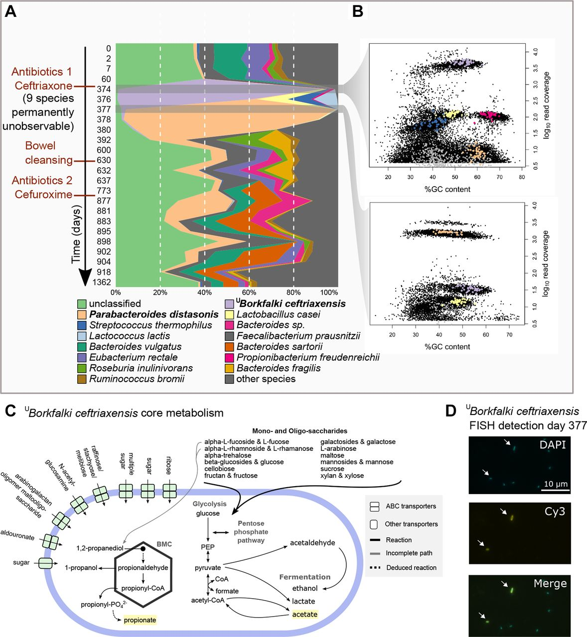Antibiotics-induced monodominance of a novel gut bacterial