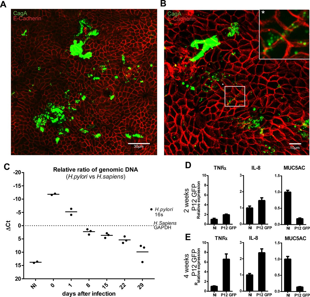Polarised epithelial monolayers of the gastric mucosa reveal
