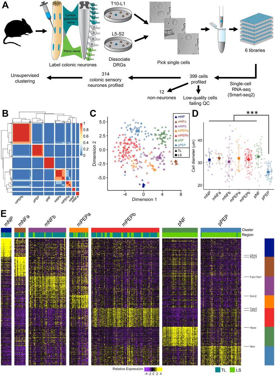 Single-cell RNAseq reveals seven classes of colonic sensory neuron | Gut