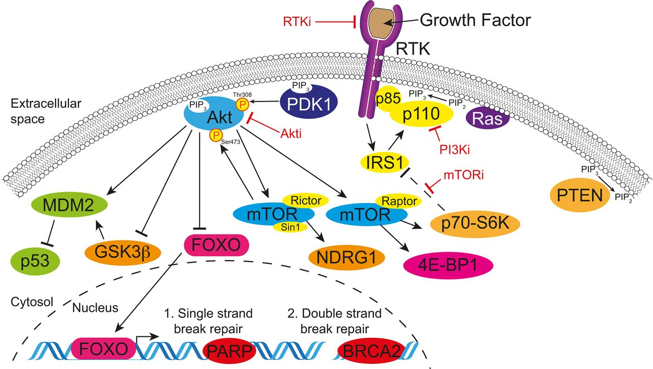 Combating pancreatic cancer with PI3K pathway inhibitors in