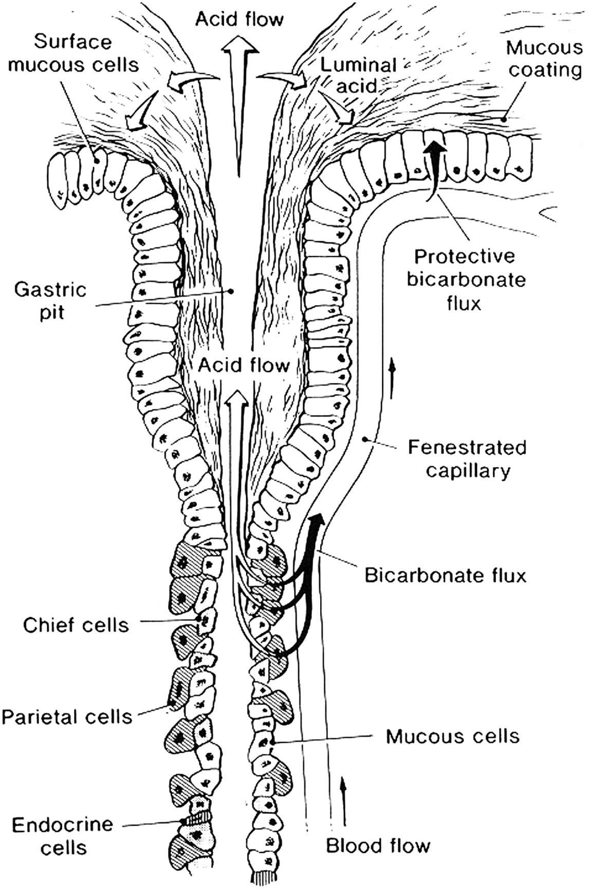 The Elegance Of The Gastric Mucosal Barrier Designed By