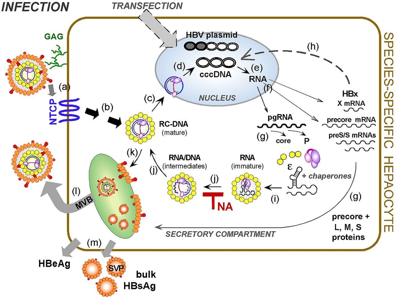 HBV cccDNA: viral persistence reservoir and key obstacle for a cure of chronic hepatitis B   Gut