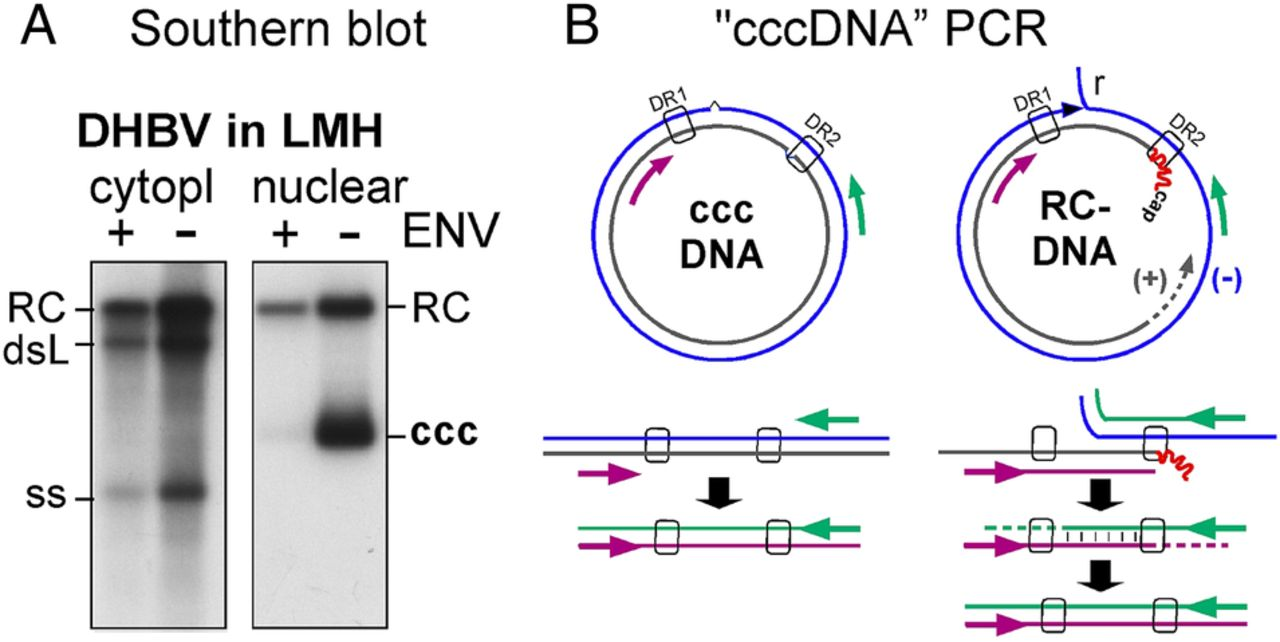 hbv cccdna  viral persistence reservoir and key obstacle for a cure of chronic hepatitis b