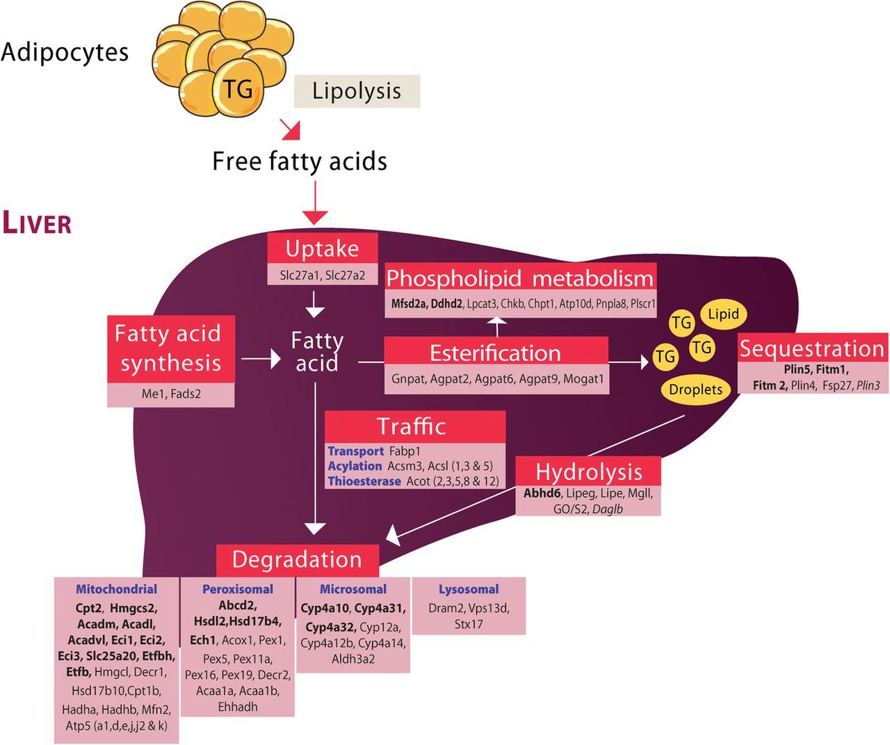 hepatic metabolism definition