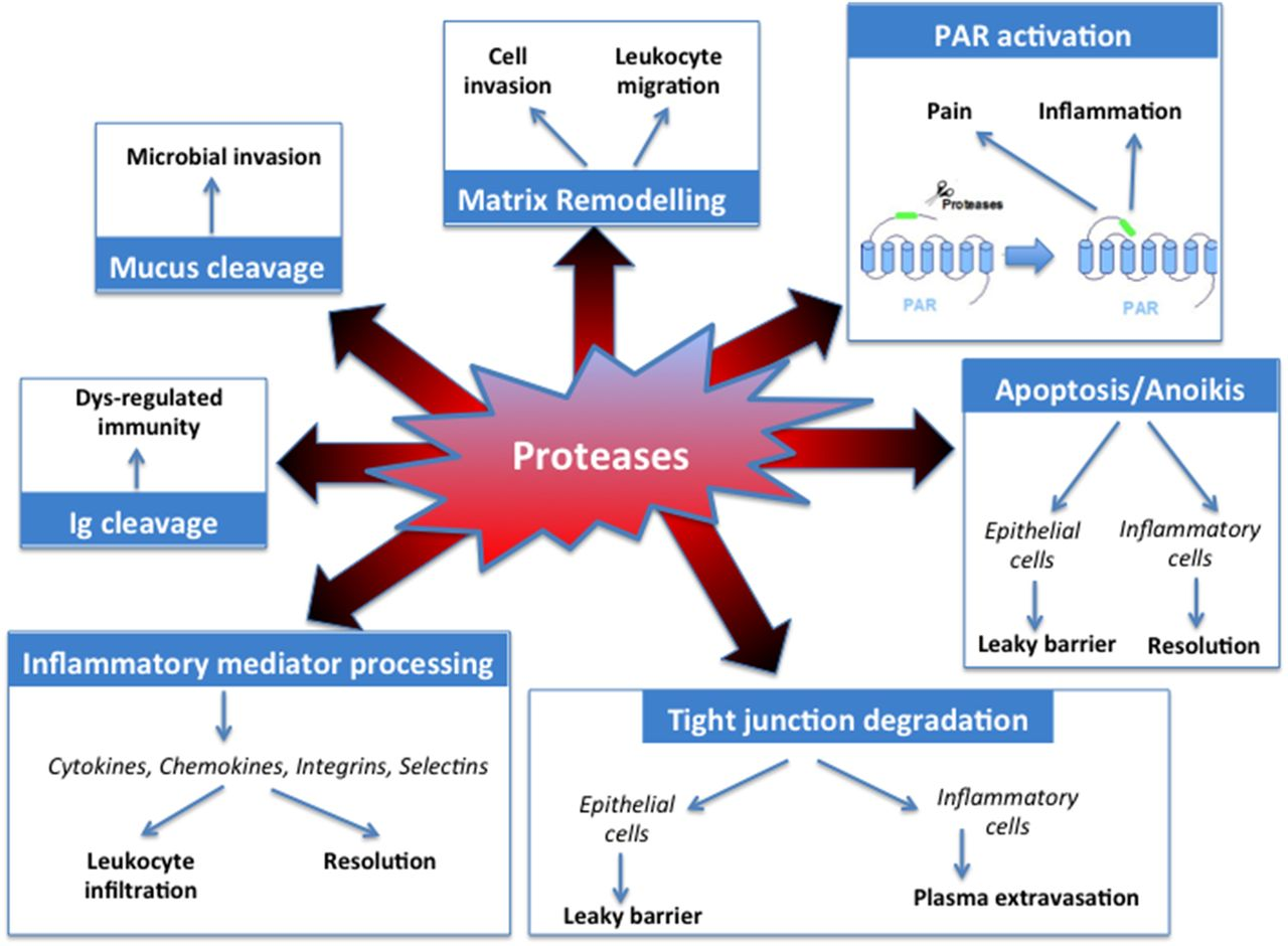 Protease inhibition as new therapeutic strategy for GI