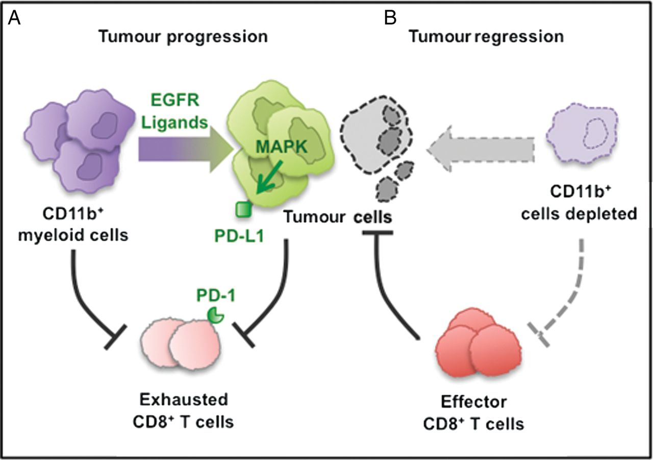 Myeloid Cells Are Required For Pd 1 Pd L1 Checkpoint
