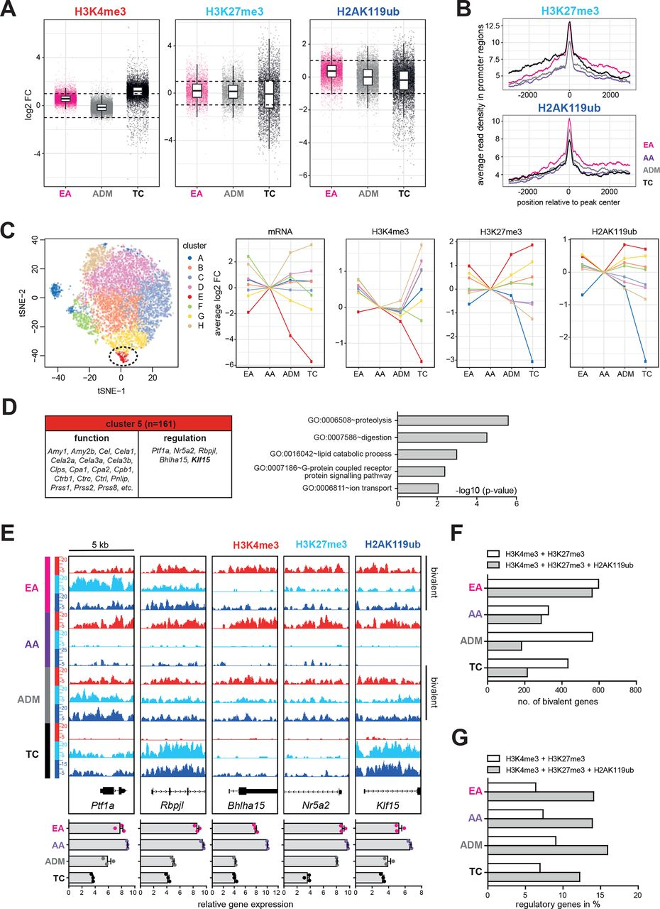 Ring1b-dependent epigenetic remodelling is an essential