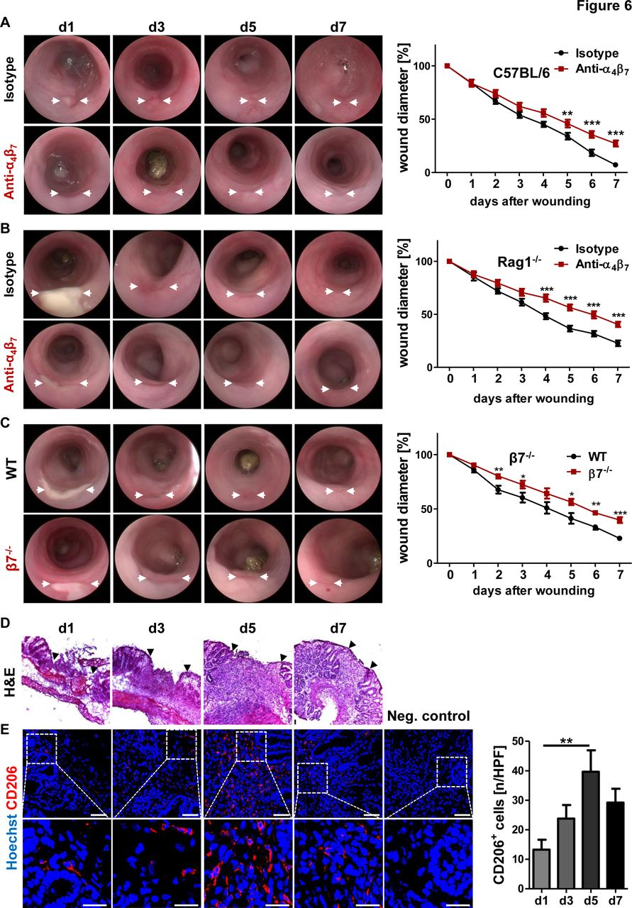 Non-classical monocyte homing to the gut via α4β7 integrin