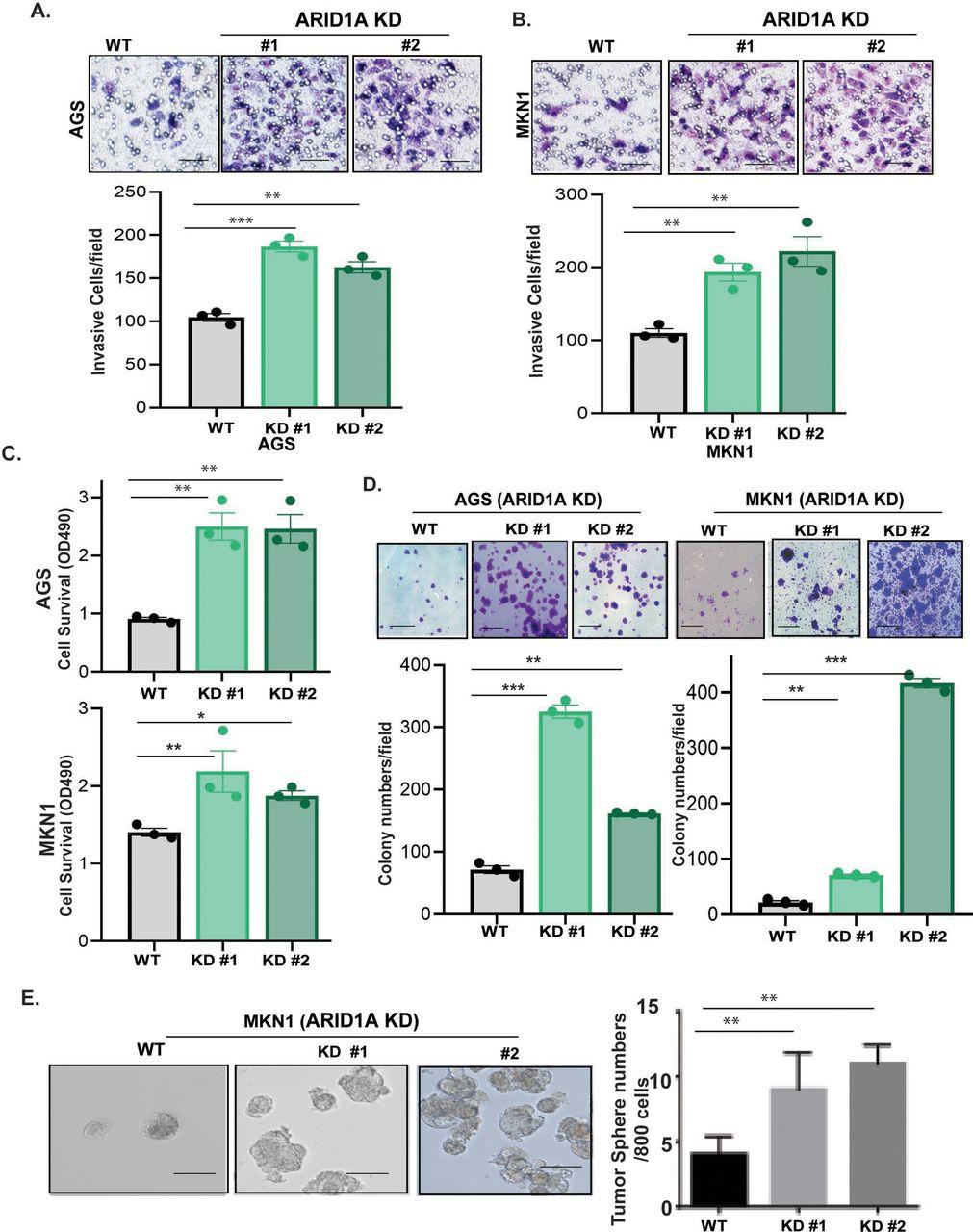 Loss of ARID1A activates mTOR signaling and SOX9 in
